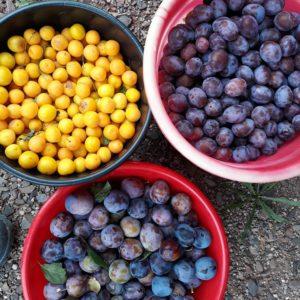 owoce do przetworów Podgórskiej Odskoczni